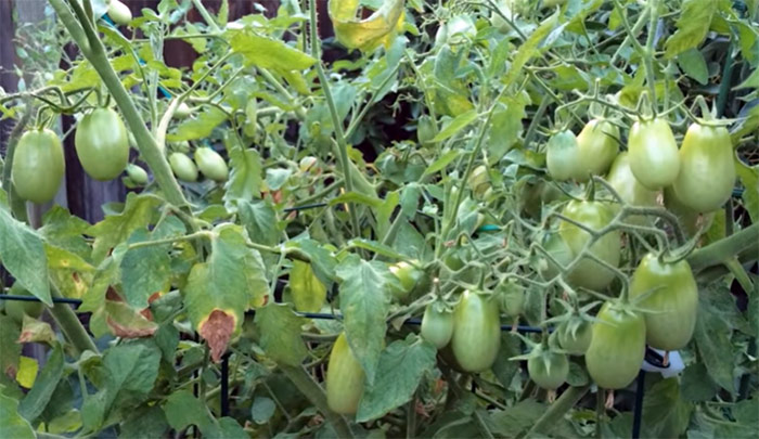Guide To Growing Juliet Tomatoes