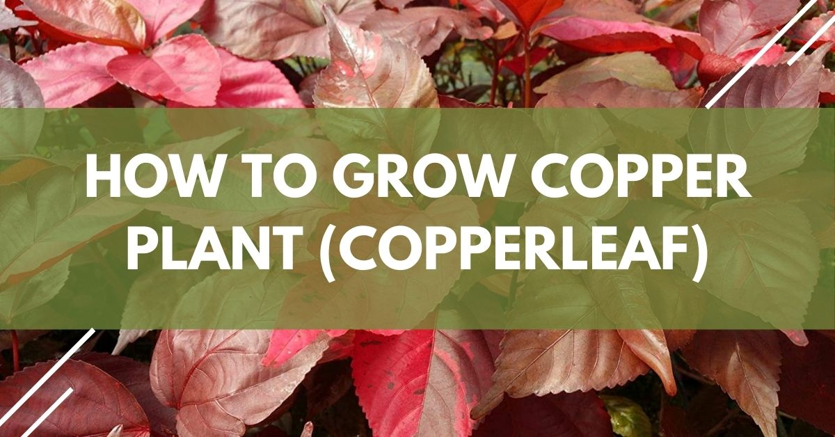 How To Grow Copper Plant (Copperleaf)