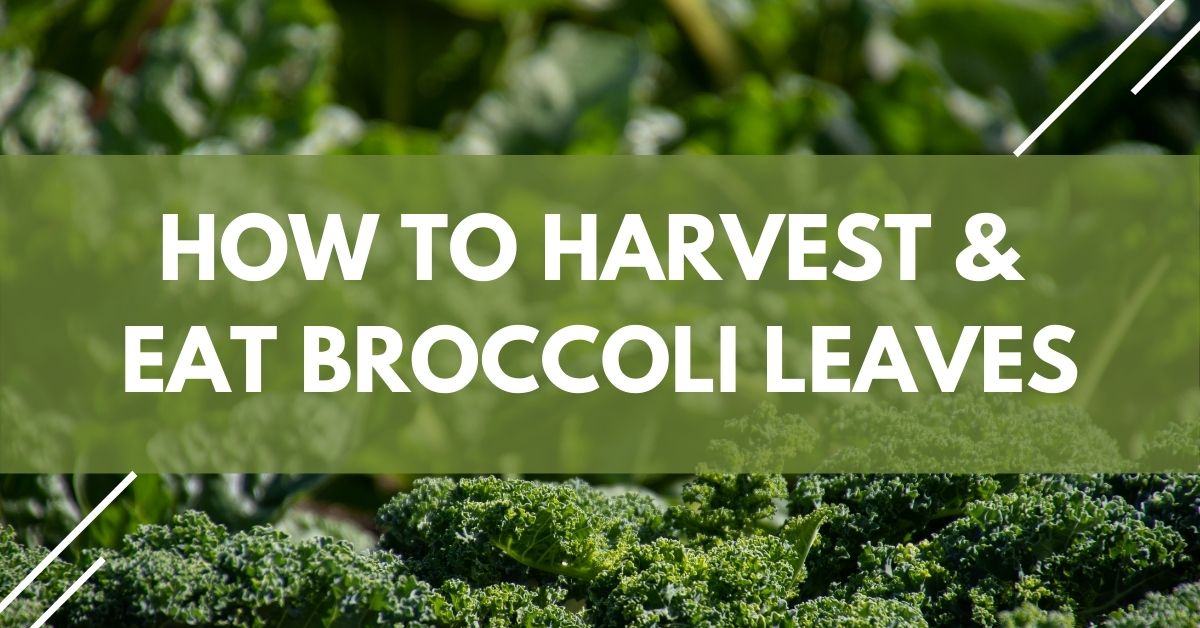 How To Harvest & Eat Broccoli Leaves