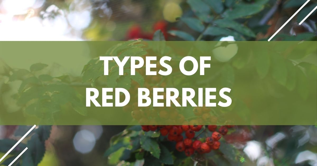 Types Of Red Berries