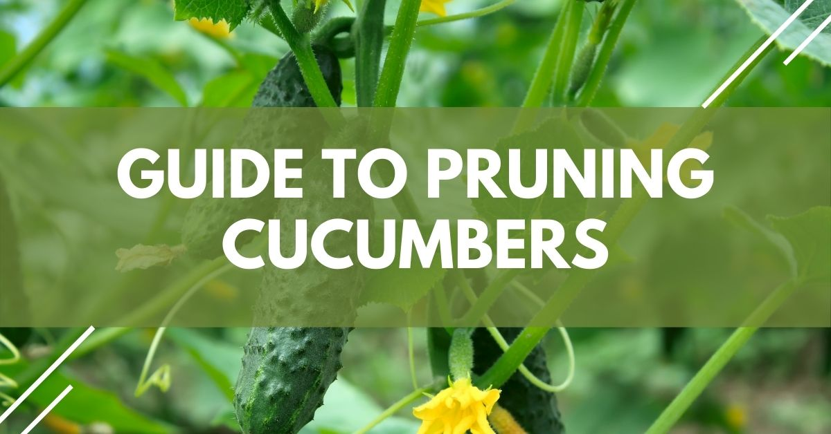 Guide To Pruning Cucumbers