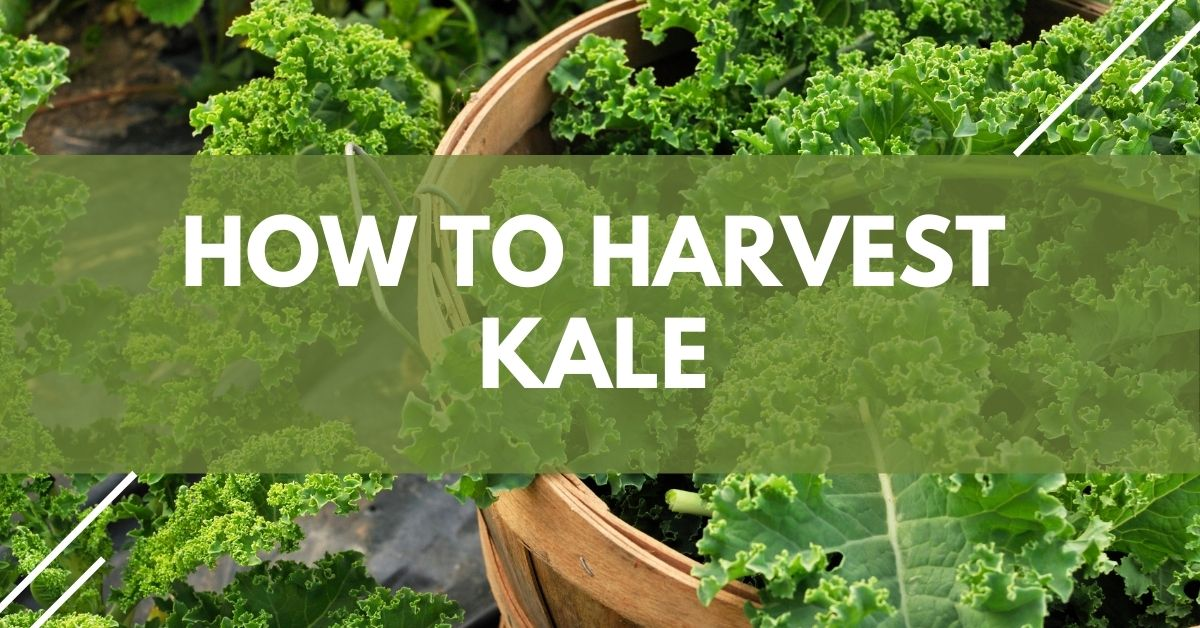 How To Harvest Kale